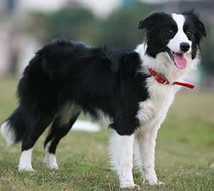 http://partridgefarmkennels.co.uk/wp-content/uploads/2019/11/Border-Collie.jpg