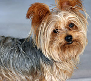 http://partridgefarmkennels.co.uk/wp-content/uploads/2019/11/Yorkie.jpg